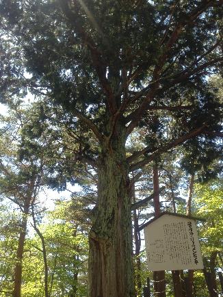 ナンジャモンジャの木2